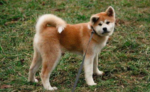 Фото щенка породы Акита ину