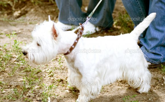 Белая собака на поводке— Photo
