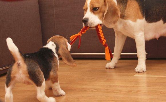 Бигли. Порода собак
