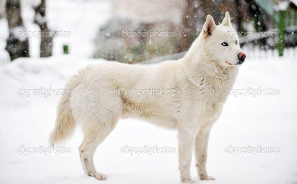Большая белая собака стоять на