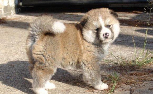 Маленький пушистый щенок