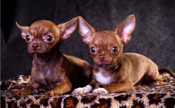 куплю собаку чихуахуа мини