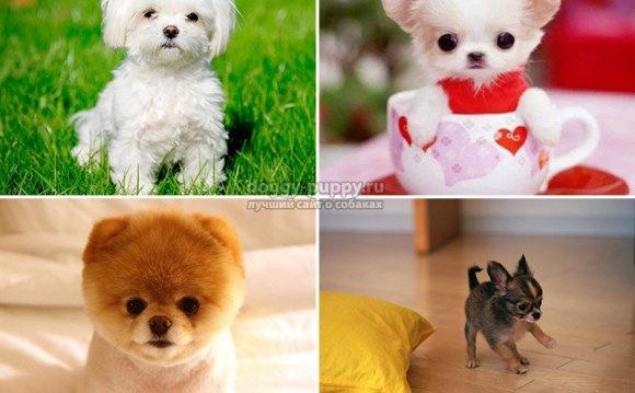 Самые маленькие собаки