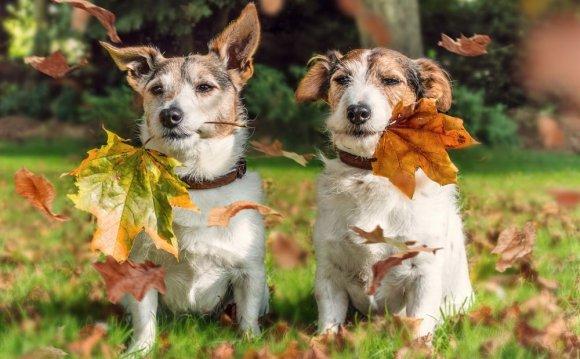 собаки породы Джек Рассел