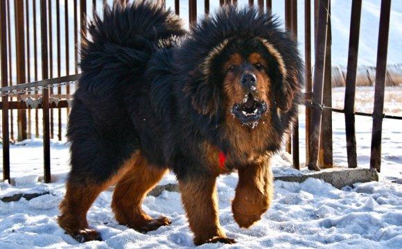 Порода собак английский мастиф