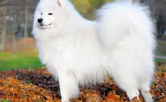 Порода собак - Самоед