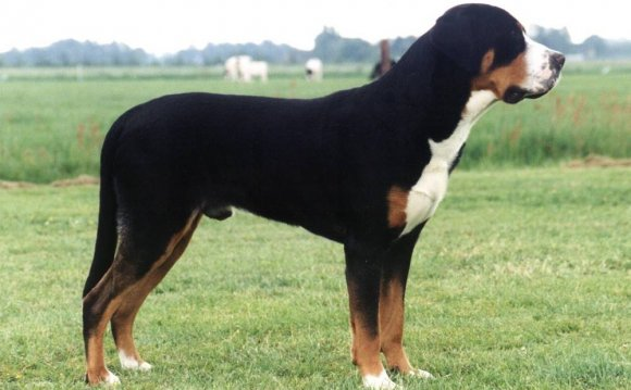 порода собак зенненхунд фото