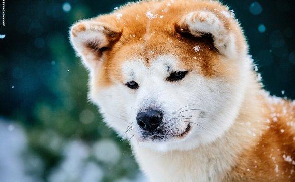 Японская порода собак хатико