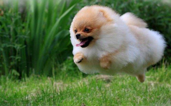 Pomeranian_dog_04