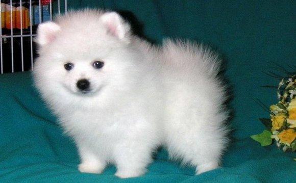 порода собак шпиц цена