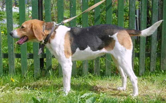 Русские породы собак2