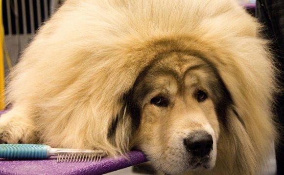 самая дорогая порода собак