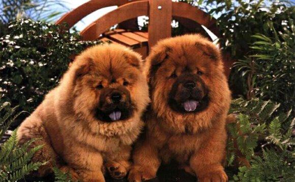 Чау-чау, фото породы собак