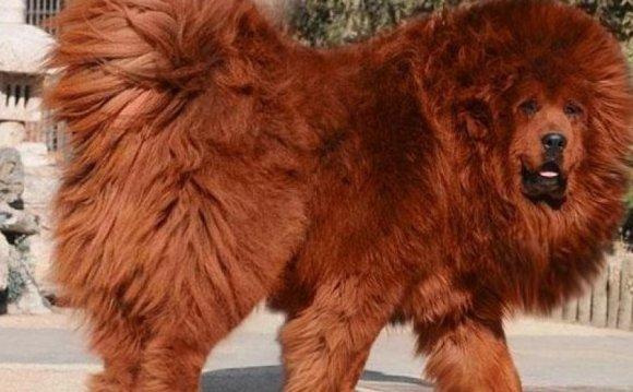 11-месячный Красный Тибетский