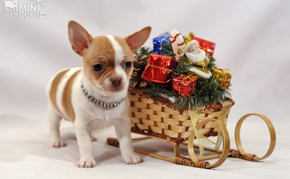 Pale-chihuahua-with-new-year