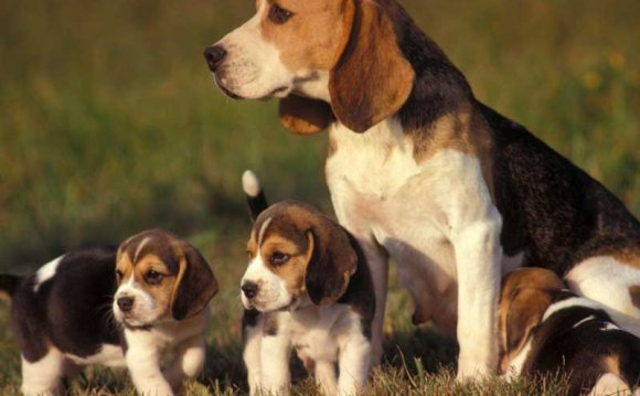 Порода собак бигль идеальна
