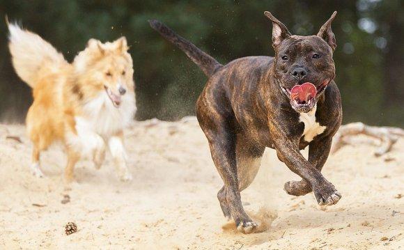Питбуль – энергичная собака