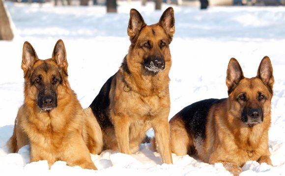 Собака породы Овчарка