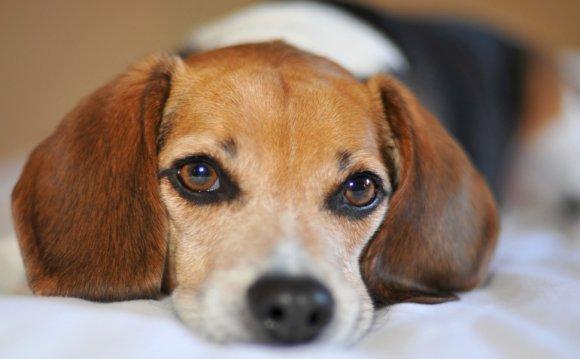 собаки породы бигль в дар