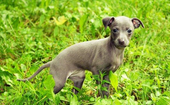 цена щенка левретки