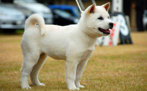 Порода собак японский хин