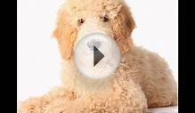 Goldendoodle/Goldendoodle (порода собак HD